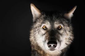 wolwe.jpg